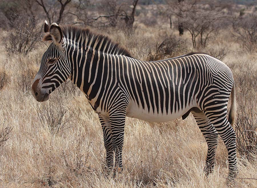 Grevijeva zebra