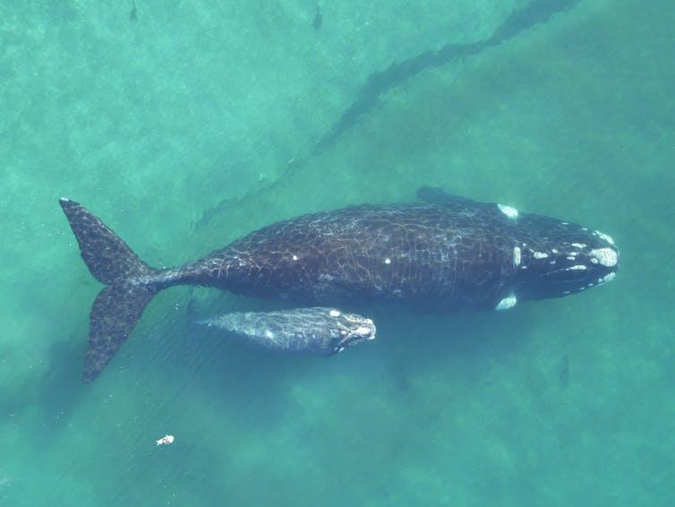 Kit v plitvi vodi