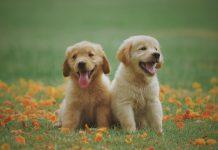 dva mladička kužka