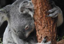 Koala na drevesu