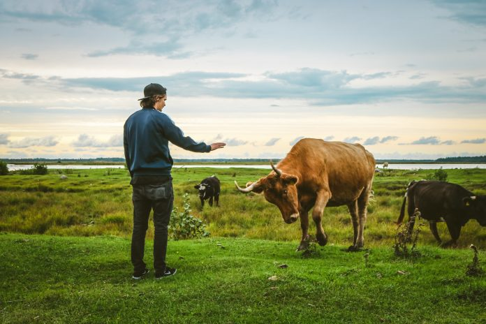 man standing front of brown cattle on grass field
